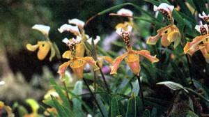 Пафиопедилум, фото орхидеи
