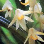 Фото орхидеи Полистахия