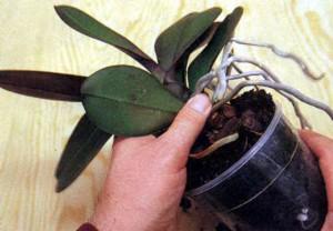 Посадка и пересадка орхидеи