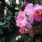 Путешествие орхидеи в Европу