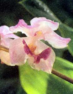 Орхидея рода Аганисия, фото