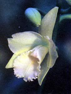Орхидеи рода Бругтония фото