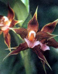 Род Галеоттия, фото орхидеи