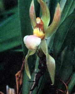 Фото орхидеи рода Хунтлея