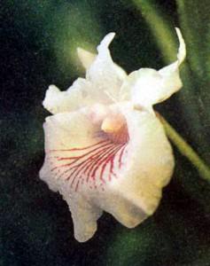 Род Кохлеантес, фото орхидеи