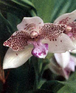 Род Пабстия, фото орхидеи
