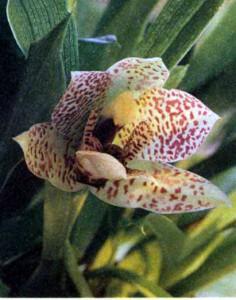Род Променея, фото орхидеи