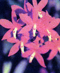 Орхидеи рода Простехея (Энциклия)