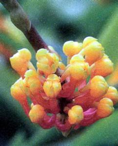 Фото орхидеи рода Робикетия