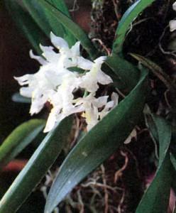 Орхидея рода Родригезия, фото