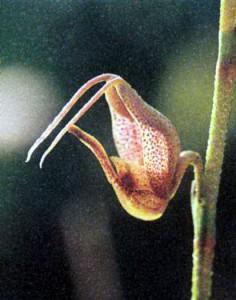 Фото орхидеи рода Скафосепалум