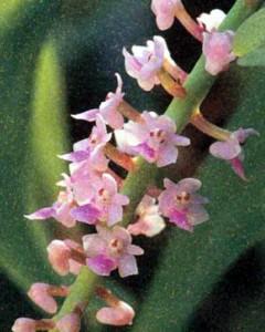 Род Смитинандия, фото орхидеи