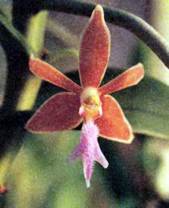 Род Трихоглоттис, фото орхидеи