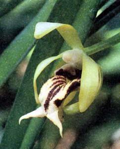 Род Труделия (Ванда), фото орхидеи