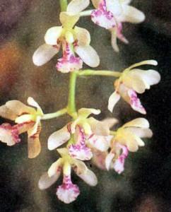 Фото орхидеи рода Седирея