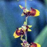Фото цветка орхидеи Сигматосталикс