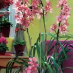 Симподиальные орхидеи и орхидеи эпифиты