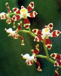 Фото цветка орхидеи Соленидиопсис
