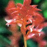 Фото цвектка орхидеи Стеноринхос