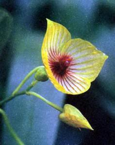 Телипогон, фото цветка орхидеи