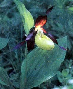 Циприпедиум, фото орхидеи