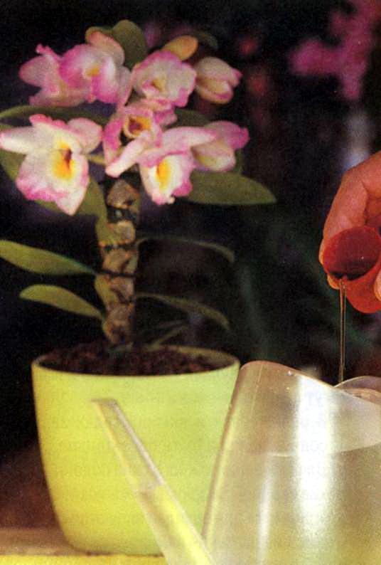 орхидеи выращивание и уход фото