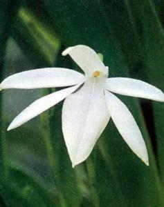 орхидея Жумеллея фото