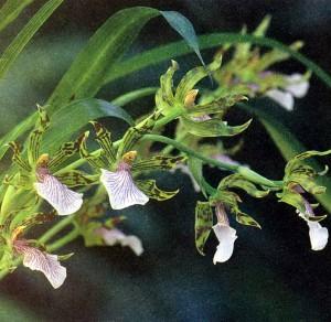 Зигопеталум, фото орхидеи