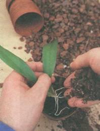 Размножение орхидей из детки в домашних условиях с фото